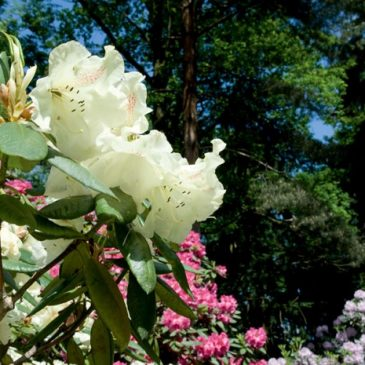 Blütenträume im Rhododendron-Park