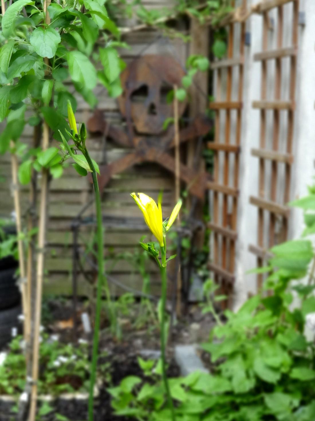 Mein Star des Gartens: Die Zwerg-Taglilie