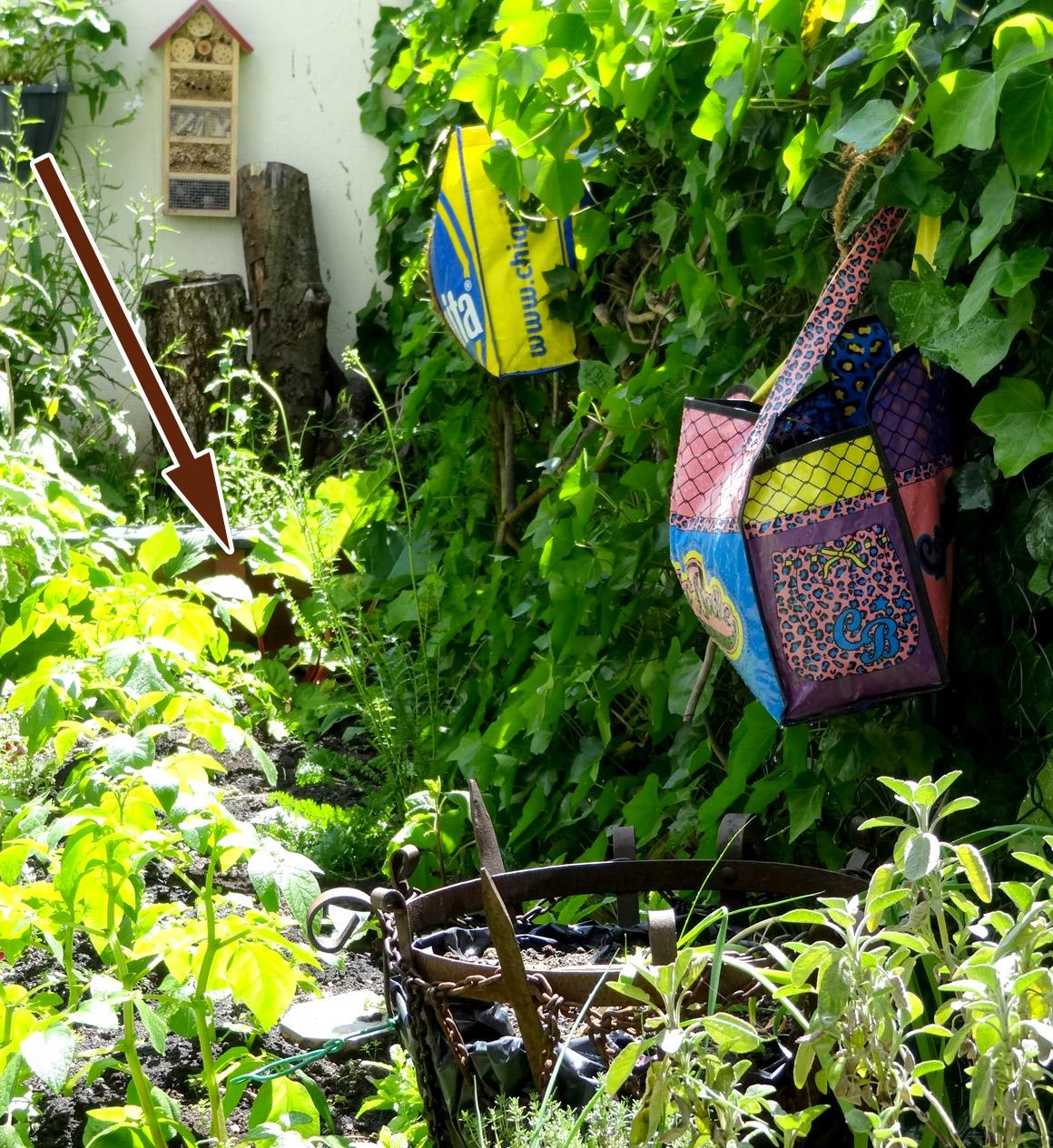 Rhabarber im Garten - wenige Wochen vor der Ernte