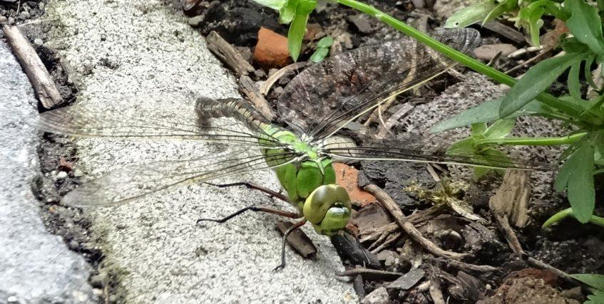 Libelle verschnauft am Liegeplatz Bremen