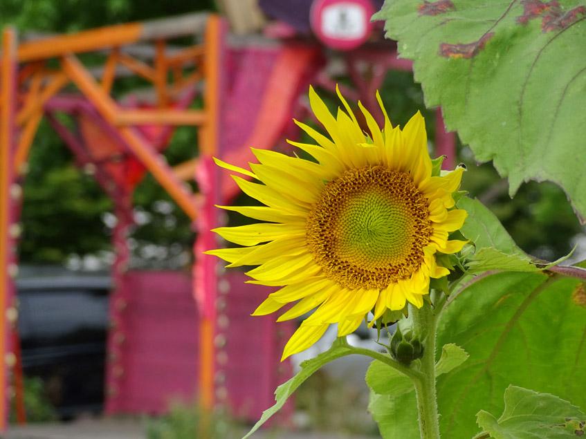 Sonnenblumen-Traum