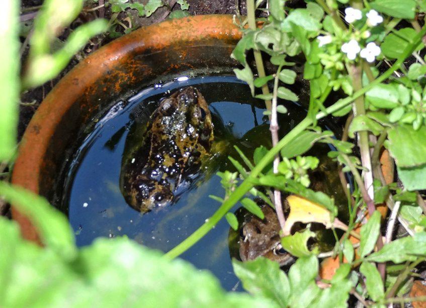 Zwei Frösche in der Frosch-Badewanne