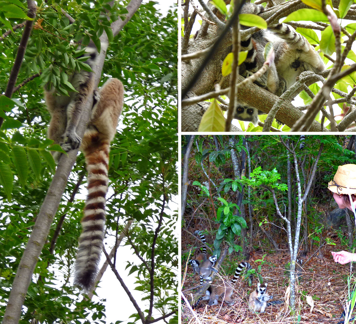 Lemuren im Anja Nationalpark