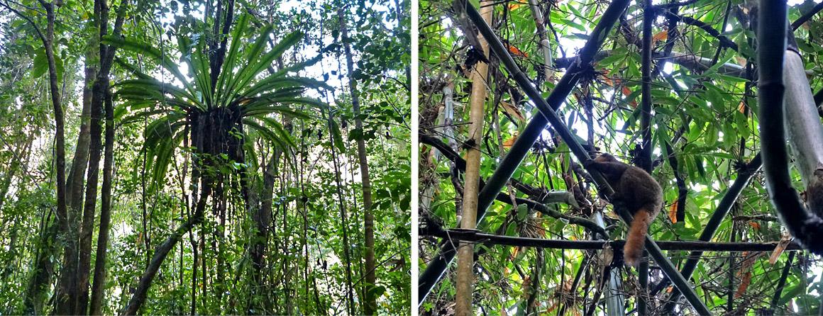 Baum der Reisenden und Lemuren in Ranomafana