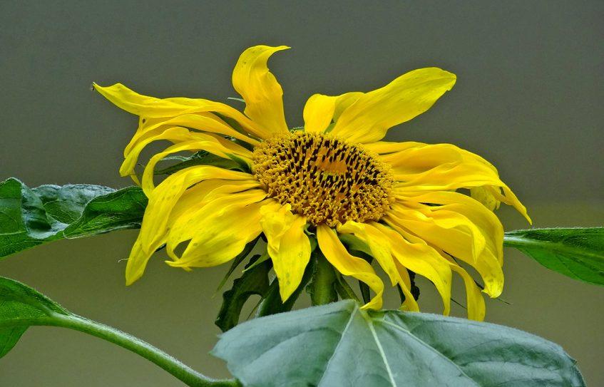 Sonnenblume im Schattengarten
