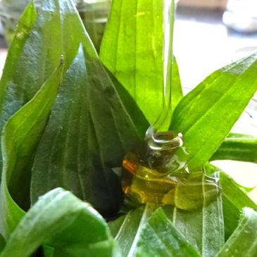 Spitzwegerichhonig – Balsam für den Hals