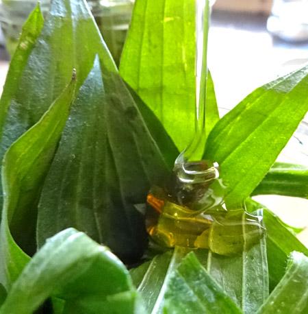 Honig und Spitzwegerich treffen sich