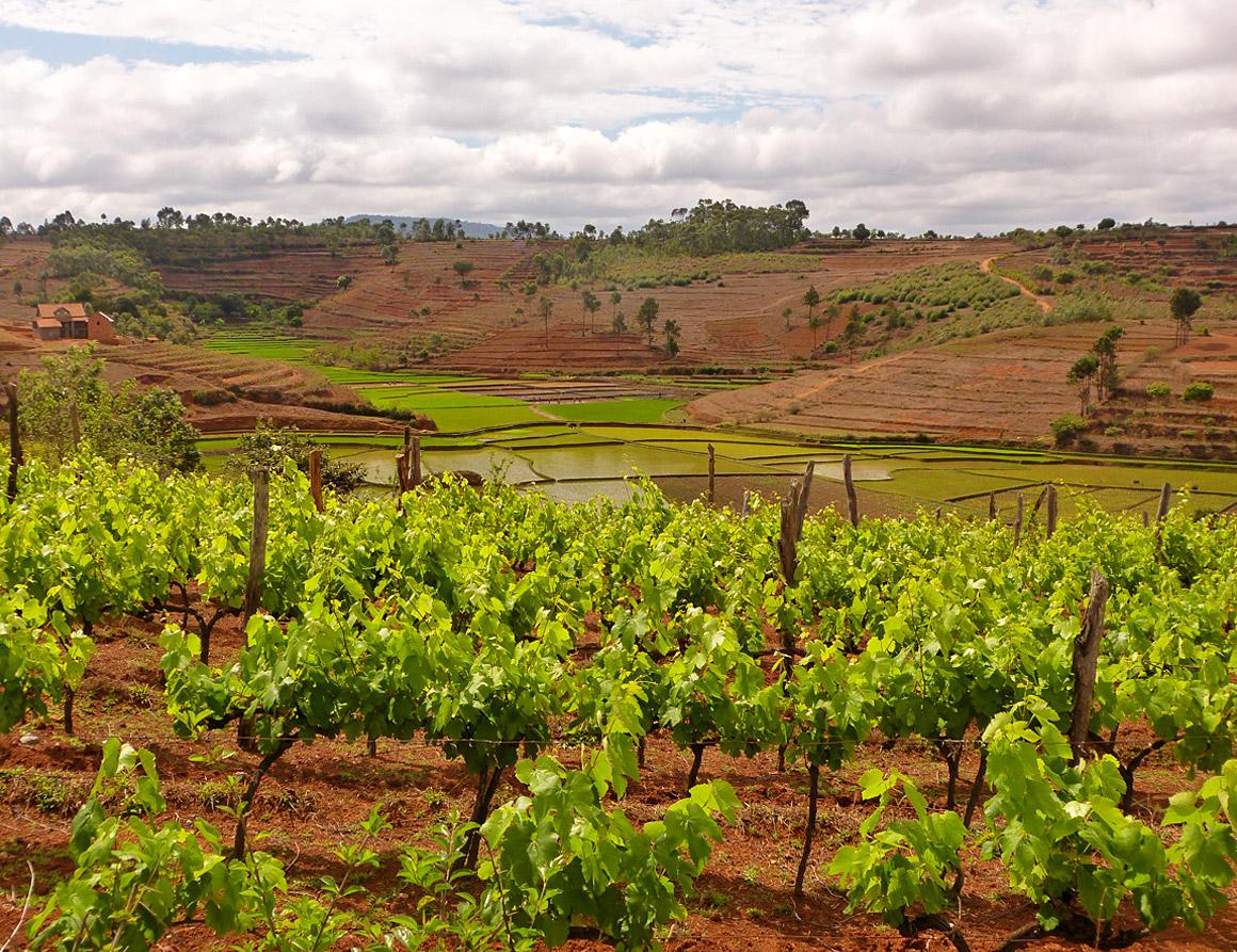 Weinanbau bei Fiana