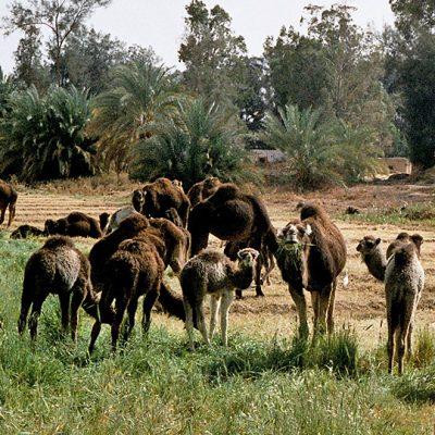 Wüste - Kamele auf dem Weg nach Bahariyya