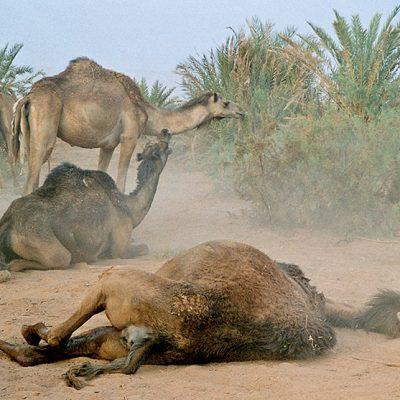 Dakhla - Kamele