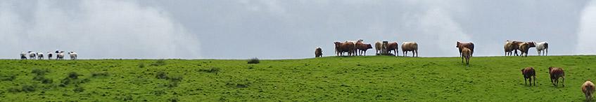 Endlich Schafe - von den Kühen gejagt
