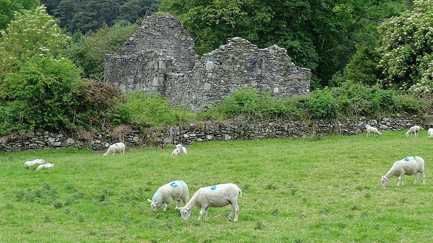 Endlich Friedhof, endlich Schafe