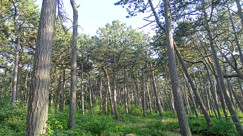 Wald in St. Peter Ording