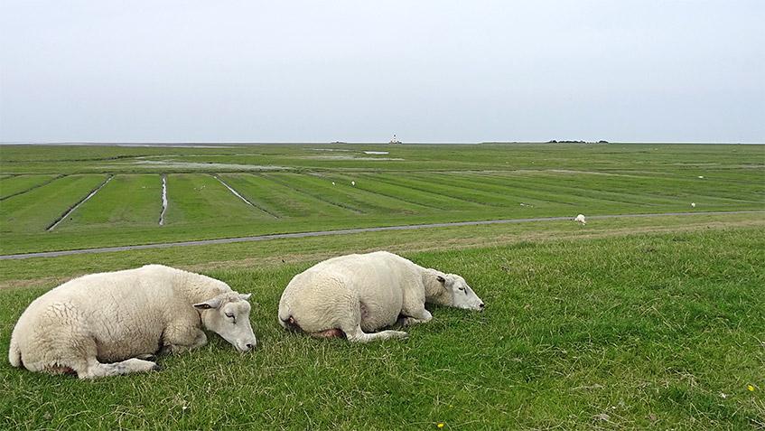 Schlummernde Schafe