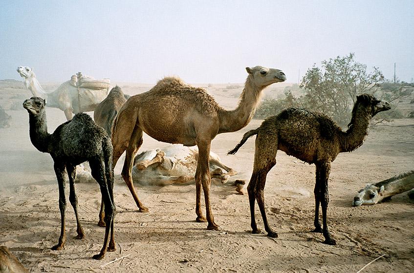 Kamelherde in Ägypten