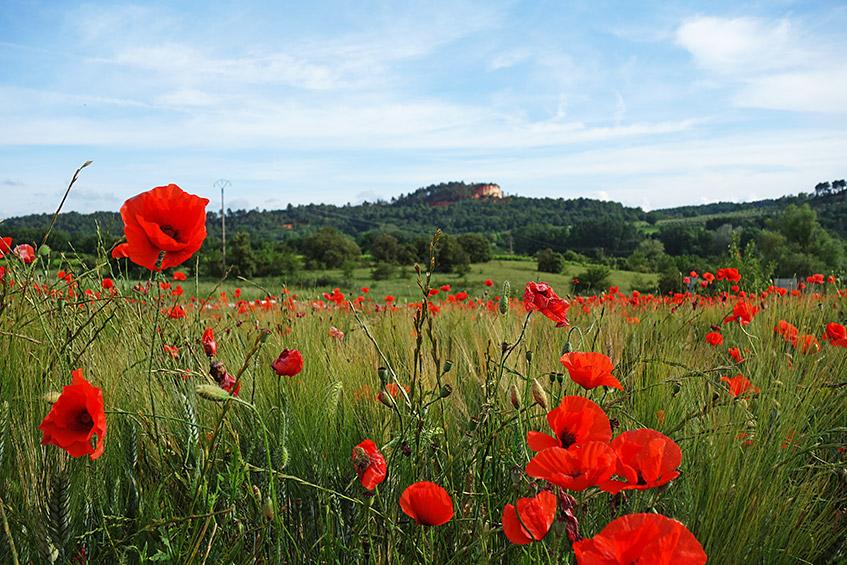 So typisch: Felder mit rotem Mohn