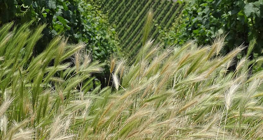 Getreide fürs tägliche Brot