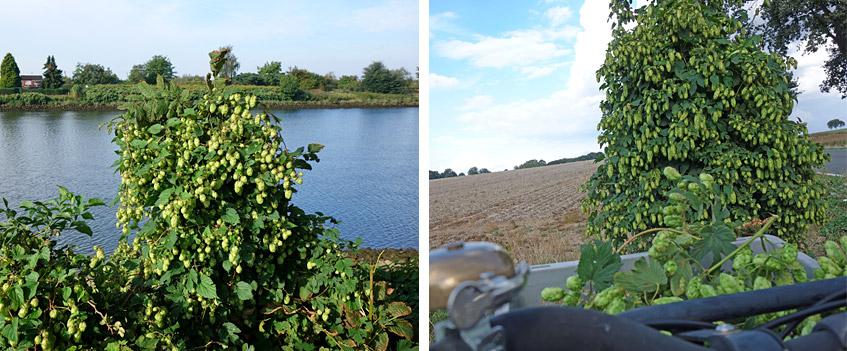 Wildhopfen von der Weser und aus Syke