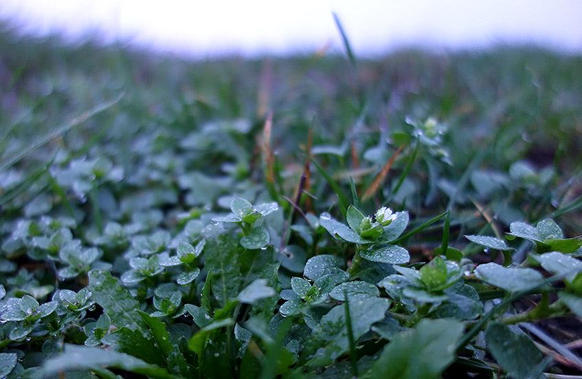 Vogelmiere - Grünkraft im Winter