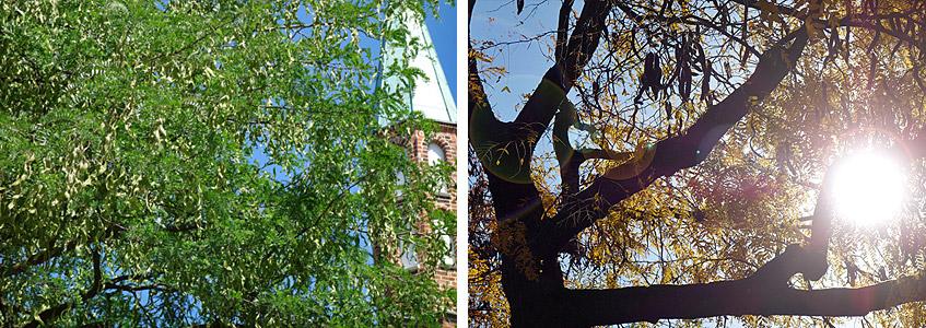Johannisbrot vor Kirche St. Johann - Frühjahr und Herbst