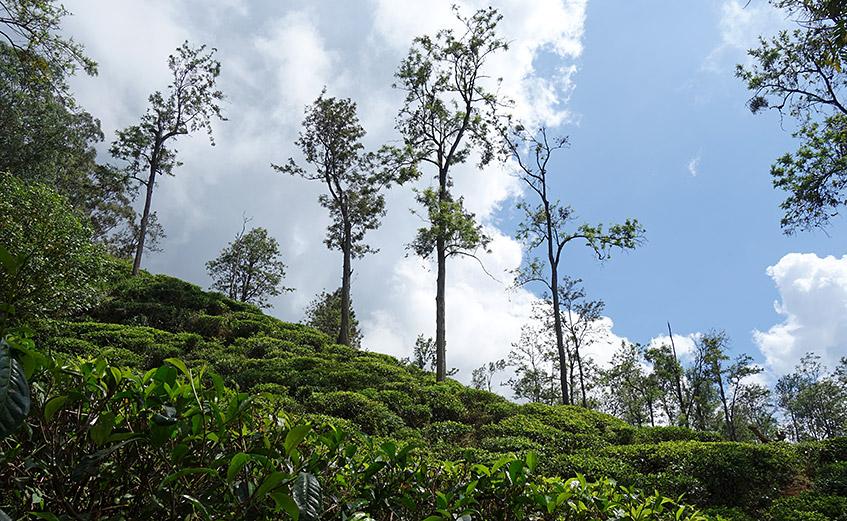 Grüner Tee und blauer Himmel