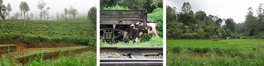 Blühende Landwirtschaft: Tee, Gemüse, Reis - und Schwarzbunte