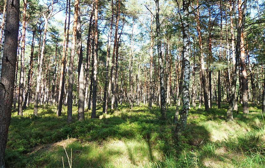 Wald im Moor