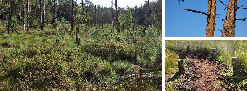 Totholz und Lehrpfad im Moor