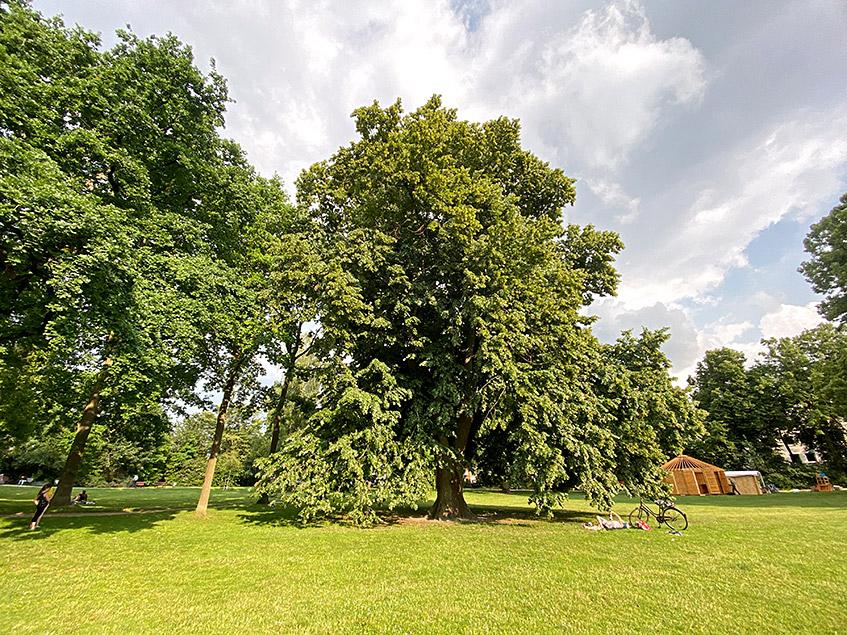Lindenbaum in den Neustadtswallanlagen