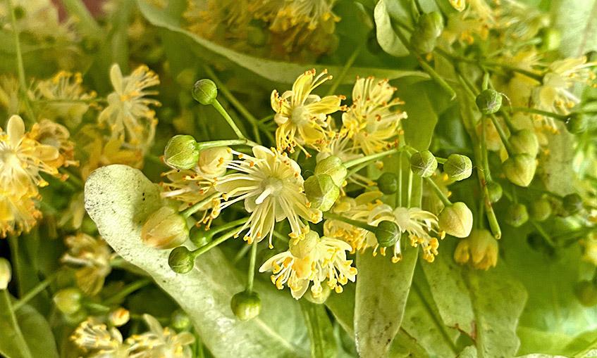 Lindenblüten-Ernte