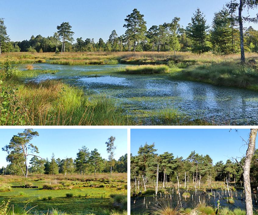 Moorlandschaft mit Birken und viel Wasser